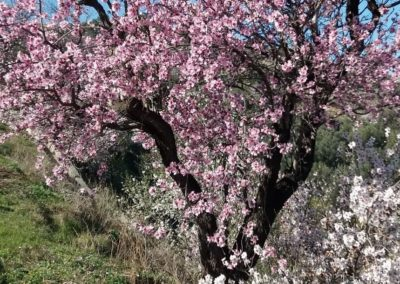 Almondtree with blossom