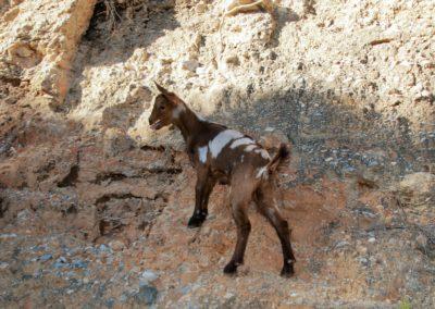 small goat in the Alpujarras